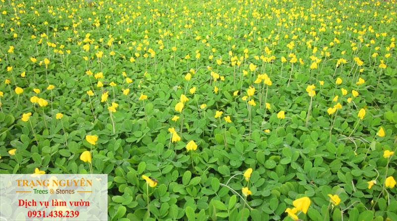 Thi công cỏ đậu phộng