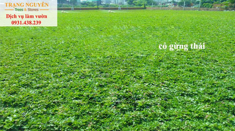 Trồng cỏ lá gừng thái