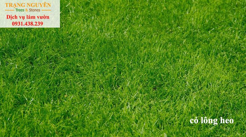 Trồng cỏ lông heo