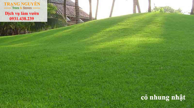 Trồng cỏ nhung nhật