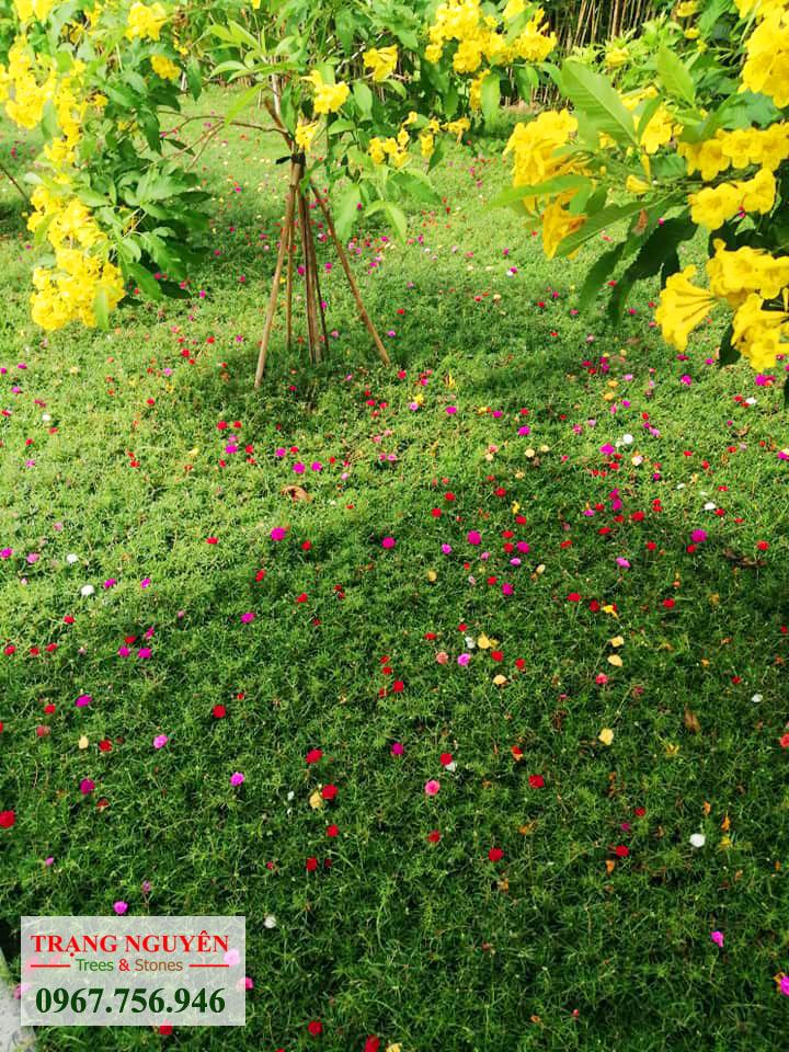 Thảm hoa mười giờ đẹp