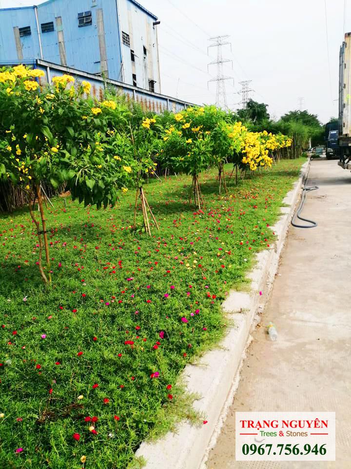 Thi công trồng thảm hoa mười giờ đẹp