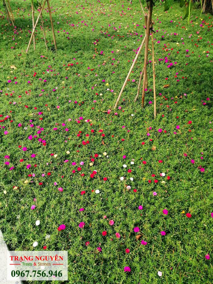 Trồng hoa mười giờ đẹp